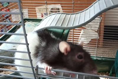 Rat Rat Ratties! Photo 1