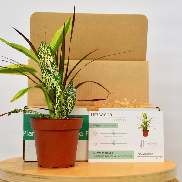 "November Indoor Houseplant Box / Dracaena Combo Plant in 4"" Pot"