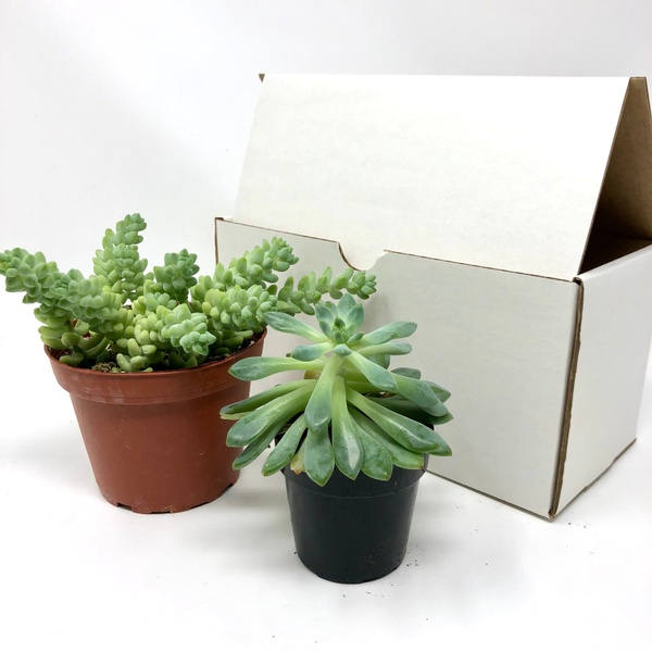 July Succulent Box / White Stone Crop Succulent + Small Succulent Variety